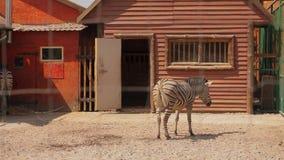 La cebra está en la pajarera, la cebra come en la pajarera en el parque zoológico almacen de video