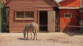 La cebra está en la pajarera, la cebra come en la pajarera en el parque zoológico almacen de metraje de vídeo