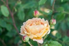 La celebrazione dorata è aumentato, fiore e germogli fotografia stock libera da diritti