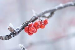 La cenere di montagna congelata su una filiale fotografia stock