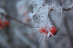 La cenere di montagna dei rami ha riguardato la neve e la brina immagini stock libere da diritti