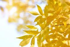 La cenere gialla di autunno lascia in raggi del sole e chiaro cielo immagini stock