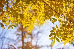 La cenere gialla di autunno lascia in raggi del sole e chiaro cielo fotografia stock libera da diritti