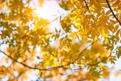 La cenere gialla di autunno lascia in raggi del sole e chiaro cielo immagini stock libere da diritti