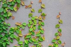 La centrale verte de plante grimpante Photographie stock libre de droits