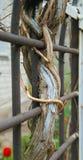 La cerca de la malla metálica de los tallos de la uva cerca Imagen de archivo libre de regalías