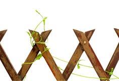 La cerca de madera con la planta que sube aislada Imágenes de archivo libres de regalías