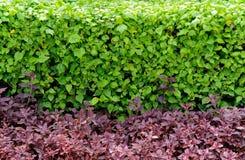La cerca del arbusto Fotografía de archivo libre de regalías