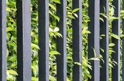 La cerca negra del metal del primer con la planta verde en el jardín texturizó el fondo Imágenes de archivo libres de regalías
