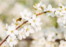 La cereza blanca florece el vuelo de la abeja de la miel - primavera ab Imagen de archivo libre de regalías