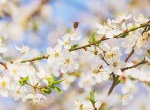 La cereza blanca florece en un cielo azul, abeja de la miel Fotografía de archivo libre de regalías