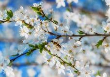 La cereza blanca florece en un cielo azul, abeja de la miel Foto de archivo libre de regalías