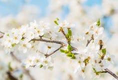 La cereza blanca florece en un cielo azul, vuelo de la abeja de la miel - primavera ab Fotografía de archivo