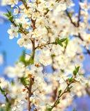 La cereza blanca florece en un cielo azul, vuelo de la abeja de la miel - primavera ab Fotos de archivo