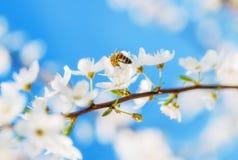 La cereza blanca florece en un cielo azul, vuelo de la abeja de la miel - primavera ab Foto de archivo libre de regalías
