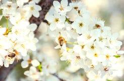 La cereza blanca florece en un cielo azul, vuelo de la abeja de la miel - primavera ab Fotografía de archivo libre de regalías