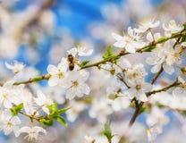 La cereza blanca florece en un cielo azul, vuelo de la abeja de la miel - primavera ab Imágenes de archivo libres de regalías