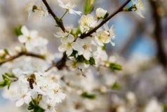La cereza blanca florece en un cielo azul, vuelo de la abeja de la miel - primavera ab Imagen de archivo libre de regalías