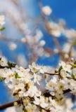 La cereza blanca florece en un cielo azul, vuelo de la abeja de la miel - primavera ab Foto de archivo