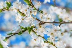 La cereza blanca florece en un cielo azul, vuelo de la abeja de la miel - primavera ab Fotos de archivo libres de regalías