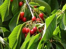 La cereza da fruto fondo Imagen de archivo libre de regalías