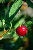 La cereza de la baya con agua cae después de lluvia en la rama fotografía de archivo libre de regalías