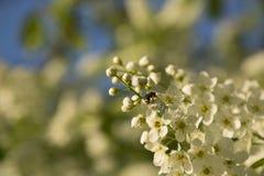 La cereza de pájaro florece con la abeja en primer de la floración Padus del Prunus Fotos de archivo libres de regalías