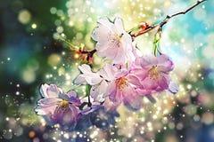 La cereza, flor de la manzana - flor de la primavera - Bokeh, lente señala por medio de luces, se enciende Foto de archivo libre de regalías