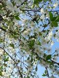 La cereza florece abeja fotografía de archivo