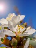 La cereza florece blanco oriental del flor contra el cielo azul del fondo con el tiro de la macro de los haces de la sol Foto de archivo libre de regalías