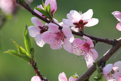 La cereza florece en árbol de la rama en la primavera en día soleado Imagenes de archivo