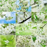 La cereza florece la colección Imagen de archivo libre de regalías