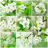La cereza florece la colección Fotos de archivo