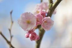 La cereza floreció fotografía de archivo libre de regalías