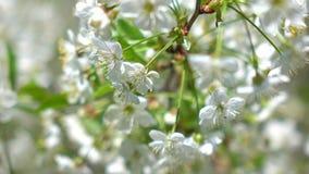 La cereza floreciente cultiva un huerto en un tiro de la macro del día soleado 4K metrajes