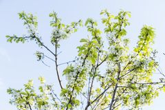 La cereza floreciente de la primavera florece la rama Foto de archivo