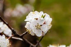 La cereza floreciente ramifica maravillosamente en cuál se sientan las abejas Fotografía de archivo