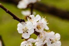La cereza floreciente ramifica maravillosamente en cuál se sientan las abejas Imagen de archivo