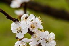La cereza floreciente ramifica maravillosamente en cuál se sientan las abejas Imagen de archivo libre de regalías