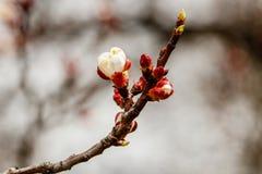 La cereza floreciente ramifica maravillosamente en cuál se sientan las abejas Foto de archivo