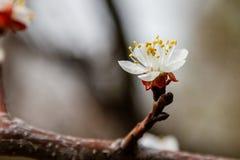 La cereza floreciente ramifica maravillosamente en cuál se sientan las abejas Foto de archivo libre de regalías