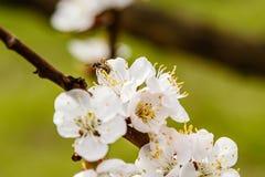 La cereza floreciente ramifica maravillosamente en cuál se sientan las abejas Fotos de archivo libres de regalías