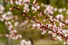 La cereza floreciente ramifica maravillosamente en cuál se sientan las abejas Imágenes de archivo libres de regalías