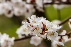 La cereza floreciente ramifica maravillosamente en cuál se sientan las abejas Imagenes de archivo