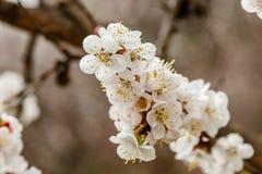La cereza floreciente ramifica maravillosamente en cuál se sientan las abejas Fotos de archivo