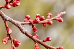 La cereza floreciente ramifica maravillosamente en cuál se sientan las abejas Fotografía de archivo libre de regalías