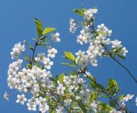 La cereza ramifica con las flores del flor aisladas en b Foto de archivo