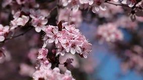 La cereza rosada florece la floración en la primavera swining en el viento metrajes