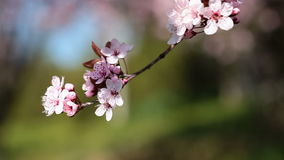 La cereza rosada florece la floración en la primavera swining en el viento almacen de video