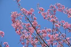 La cereza (Sakura) florece las ramas Imagenes de archivo
